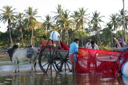 Loading nets onto Ox cart.