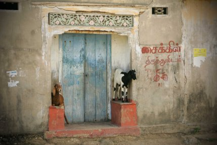 Goats in Doorway, Point Pedro.