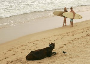 Stressed out surfers do battle with Aggro cow.