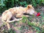The shameful neglect and abuse of Sri Lanka's abandoned dogs.